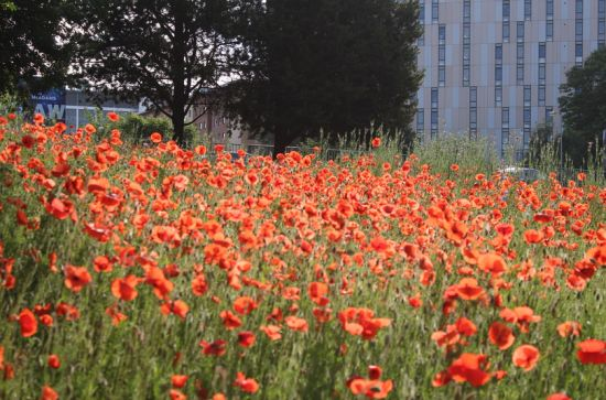 Grow Wild Poppies in Princess Parkway roundabout