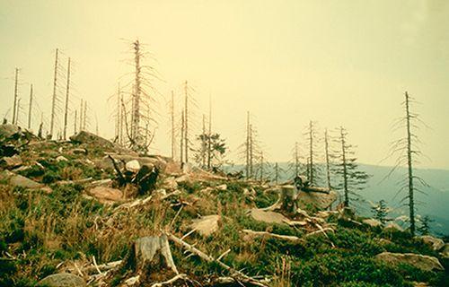 Trees damaged by acid rain, Black Forest, Germany © Chris Rose