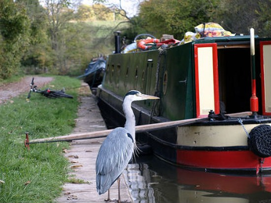 Heron by narrowboat, Kennet & Avon canal. Image: Flickr/Chris37111