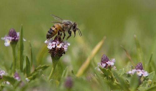 Honeybee feeding on wildflower.