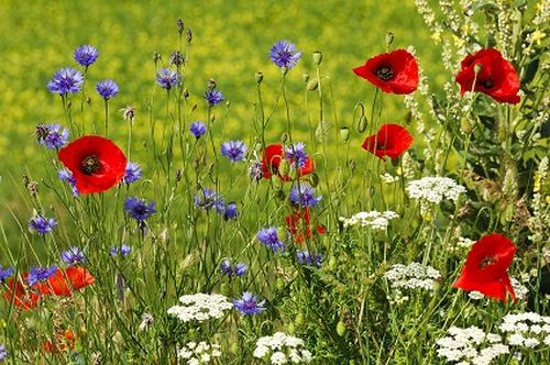 Long grass with poppies, cornflowers, cow parsley.